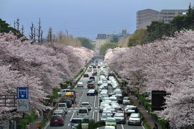 20110409DSC_8343国立桜SM