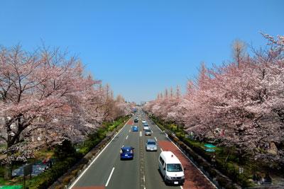 20120408_1134国立桜SM