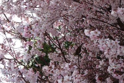 20110331DSCN2347桜SM