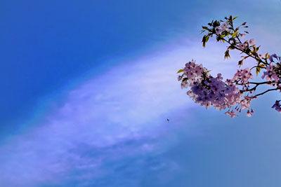 20140408DSCN4304彩雲と桜SM