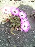 花むらさき