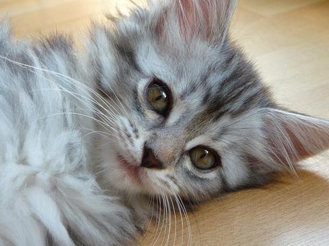 kitten-1397072_640