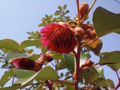 ロドレイア花