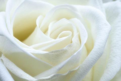 rose-1033202_1920