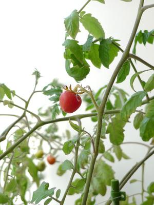 26_tomato
