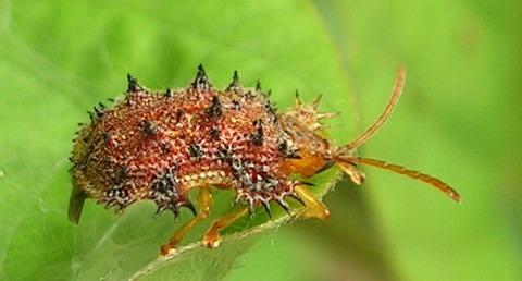 Hispid_beetle