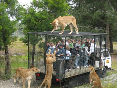 Orana_Wildlife_Park_feeding_lions