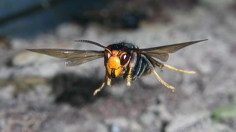ツマアカスズメバチ1