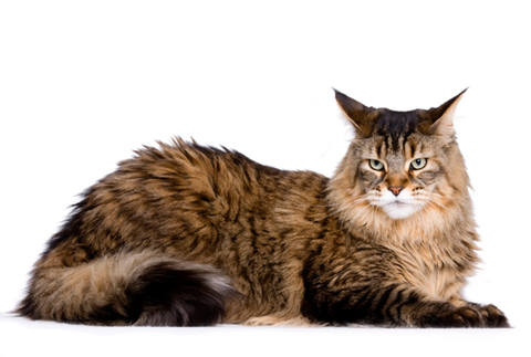 mainecoonhed