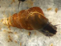 250px-Oncomelania_hupensis_nosophora