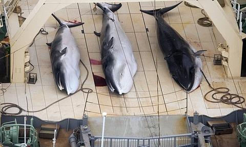 minke-whales-on-the-deck--012