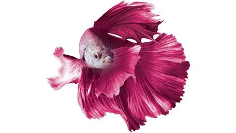 gallery_pink-betta-3-498x280