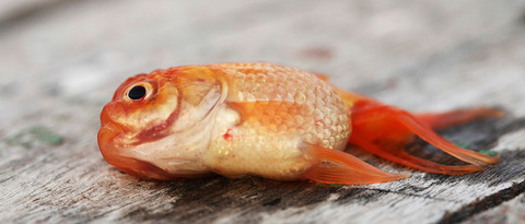 goldfish-is-dead