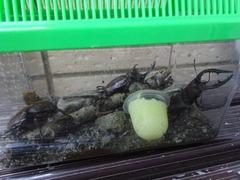秩父のカブトムシ達