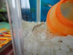 0713小魚1とエビの脱皮のカラ