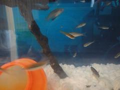 小魚1クチボソ