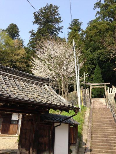 宇陀の禅寺の桜