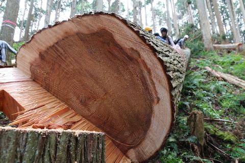 吉野杉伐採見学ツアー