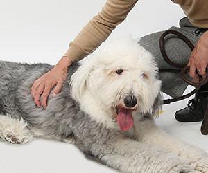 犬のスタジオ撮影