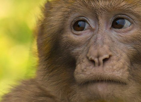 barbary-ape-3797015__340