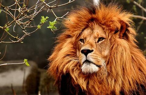 lion-3372720__340