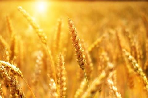 wheat-3506758__340