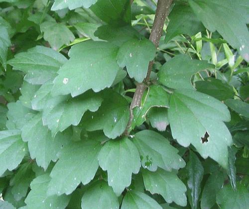 Hibiscus_syriacus_leaves154131