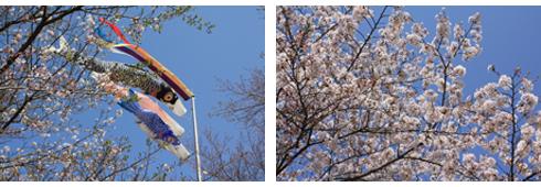 こいのぼりと桜