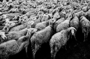 sheep-1148999_640