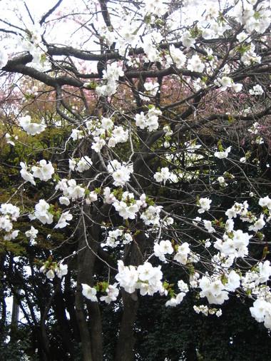 新宿御苑シラユキ
