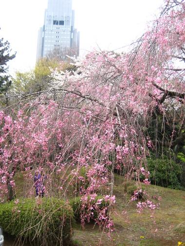 新宿御苑枝垂れ桜
