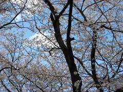 石神井公園櫻