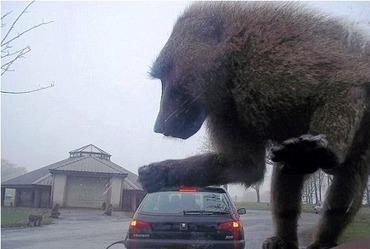 ヒヒ車の上に乗ってきた