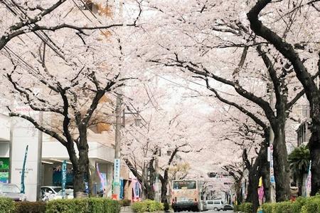 050 大泉学園通りの桜並木