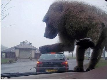 ヒヒ車の上に乗ってきた�