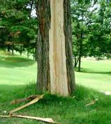 落雷のあった木