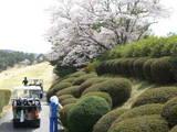 桜が眩しい春