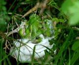 カエルの産卵
