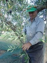 オリーブ収穫 パパ