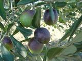 オリーブ収穫バケツ