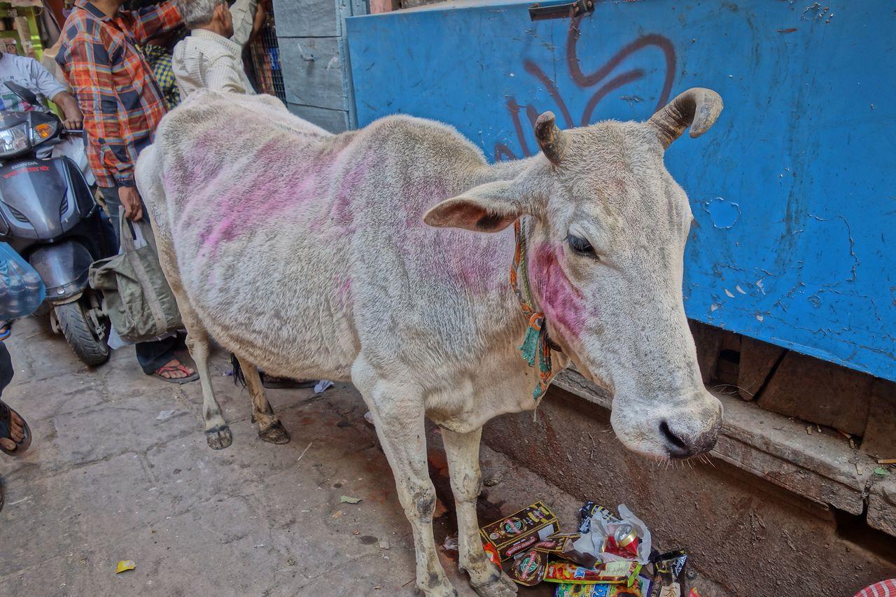 ホーリー祭(バラナシ)牛