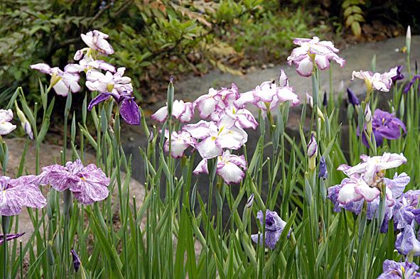 20100623花しょうぶ