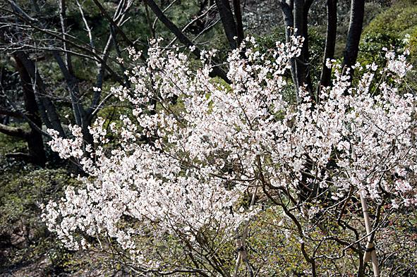 20100413小彼岸桜
