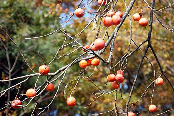 20081123柿の木
