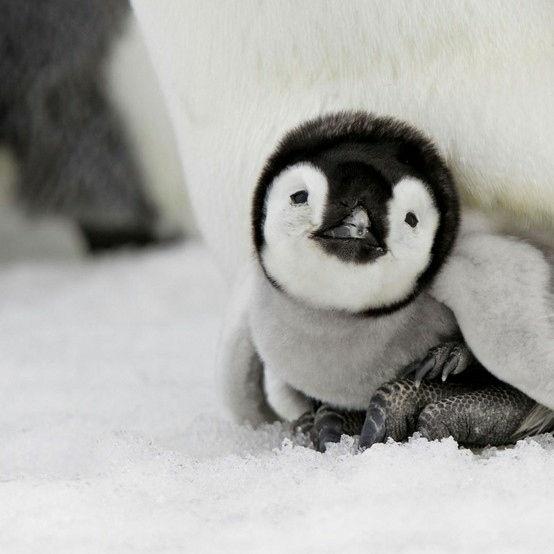 penguin16
