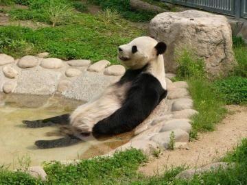 pandafuro