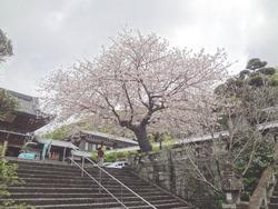 浜町・桜02-2