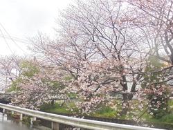 桜02-2