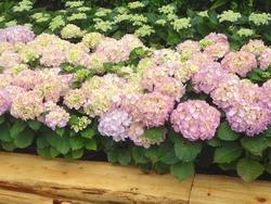 紫陽花まつり02-5