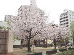 浜町・桜06